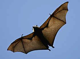Il pipistrello - Contorno immagine di pipistrello ...